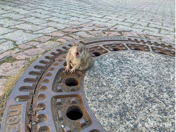 Changes in Rodent Perception Fuelling Rat Explosion in Southern Germany